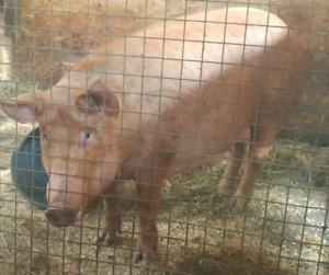 2 yr old Tamworth Sow and 10  piglets for sale or trade