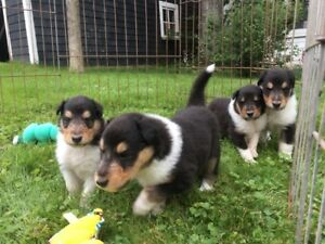 Ckc registered fully guarantee purebred Rough Collies