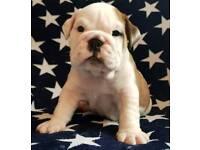 English bulldog pups kc reg ready now