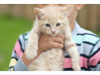 lovely creme british short hair kitten for sale