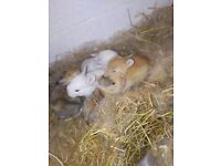 5 adorable baby rabbits only 2 left