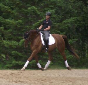 Distinguished, Dressage-trained, Oldenburg Gelding!