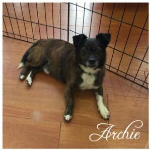 """Adult Male Dog - Boston Terrier-Chihuahua: """"Archie"""""""