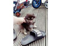 Super cute, stunning micro tiny Pomeranian girl