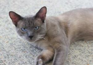 """Young Male Cat - Siamese: """"Micah"""""""