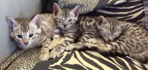 Bengal kitties - browns,snows and silvers available