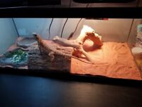 Young Bearded dragon needing a new home. Comes with his vivarium and anything inside aswell