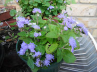Plants for sale-Ageratum plants-50p each