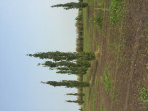 TREES FOR SALE 3FT TO 25 ALL TYPES
