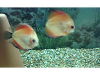 discus x 3. small to medium size, 2-3 inch.