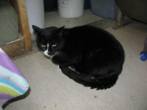 "Adult Male Cat - Domestic Short Hair (Black & White): ""Dude"""