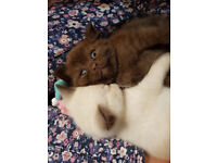 SWEET BRITISH SHORTHAIR KITTEN FOR SALE-READY FOR NEW LOVING FOREVER HOME.