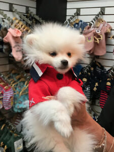 High quality mini white Pomeranian trained for sale