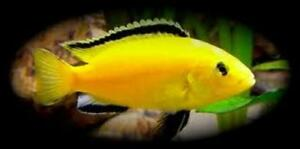 Electric yellow and red zebra cichlids fish for sale from $1