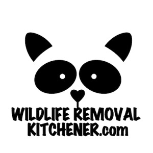 Wildlife Removal Kitchener - Squirrel & Raccoon Removal
