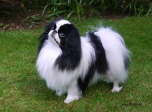 LOOKING FOR A JAPANESE CHIN
