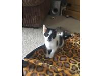 Kittens 1 female Wormed and flea treated. Happy and healthy.