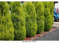 Goldcrest Conifers Wanted