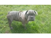 Male French Bulldog puppie 3 months old
