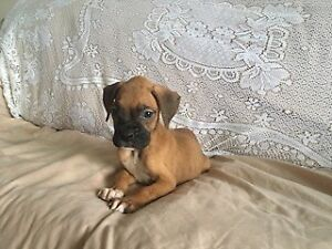 Purebred European Brindle and Fawn Boxer Puppies