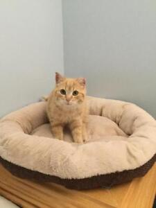 Male Cat - Domestic Short Hair (Orange & White)-Tabby (Orange)