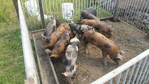 Berkshire piglets