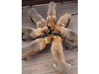 Belgian malinois pups