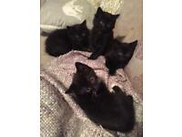 Stunning black kittens