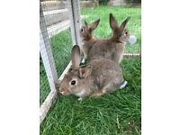 Baby rabbits boys and girls available immediately