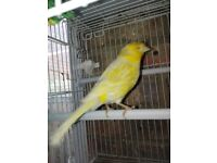 Female satinette canary (red eyes) for sale