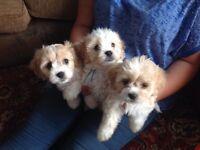 Beautiful fluffy puppies