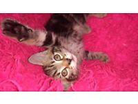 Very pretty tabby kitten ready to go ...