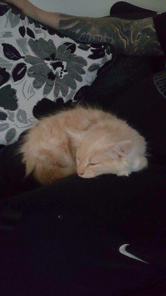 Beautiful large breed kitten for sale