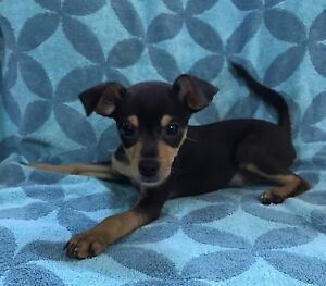 Chihuahua X Toy Fox Terrier Puppies