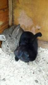 English lop eared baby rabbits