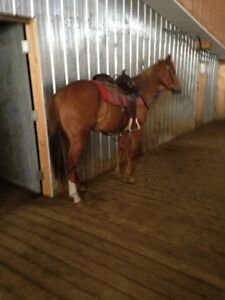 2 year old solid bred filly
