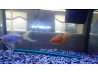 Gold fish pair