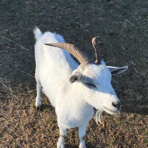 Downsizing Goat Herd