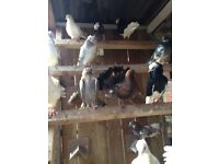 Various doves for sale