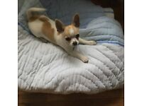 Chihuahua female 4 months old kc regestered microchipped jags