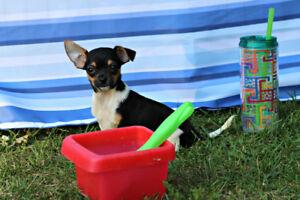 Chihuahua  ❤❤ Rocco mâle noir et feu   ❤❤Petit prince charmeur
