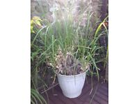 Large Pampas Grass in a Pot