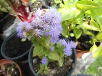 Plants for sale-Ageratum plants-50p per pot