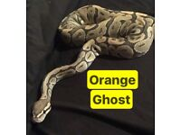 Male and female Royal pythons