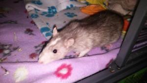 looking for husky/merle/blue/lavender/or orange rats