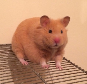 female siberian hamster, cage and accessories
