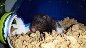 FREE ONE MALE PANDA HAMSTER CAGE FOOD