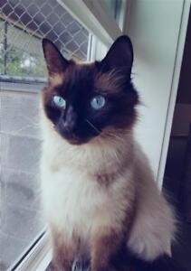"""Young Female Cat - Domestic Long Hair-Siamese: """"Barnet Momma"""""""