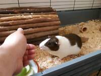 Two sweet Guinea Pigs males for adoption.