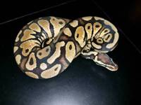 Stunning Female pastel royal ball python/ snake